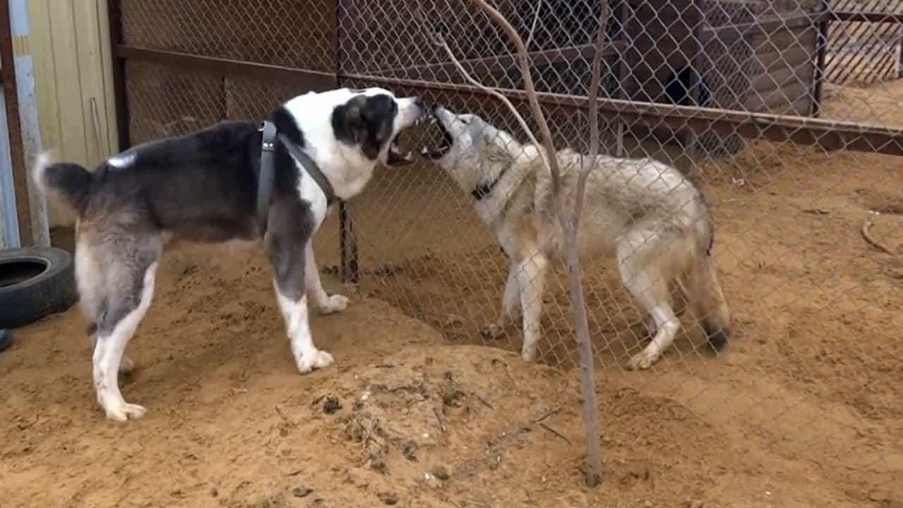 Chó Alabai trong cuộc chọi chó