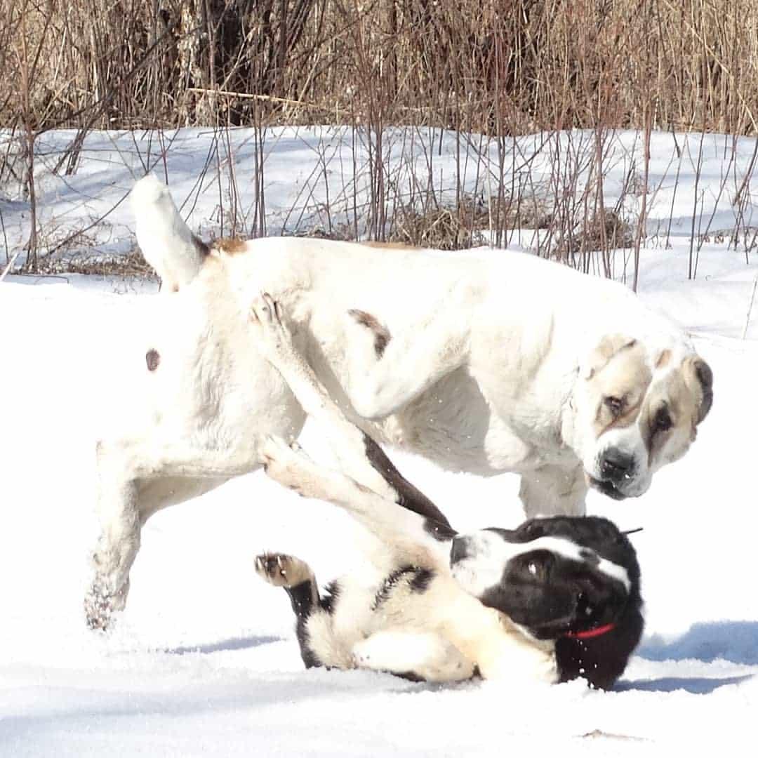 Chó Alabai và chó cùng trang trại