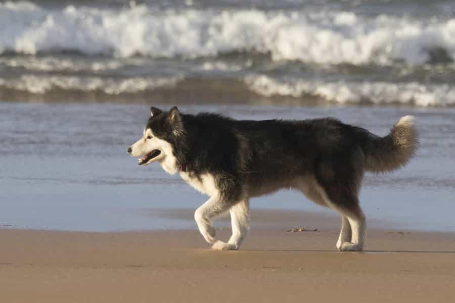 Chó Alaska có cắn người không?