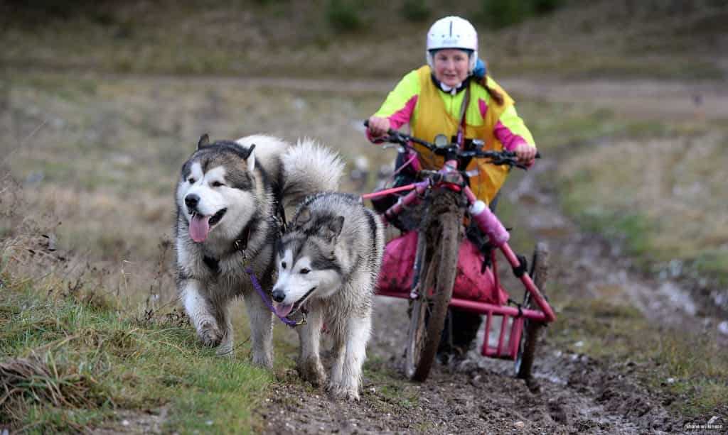 Chó Alaska có lòng trung thành tuyệt đối