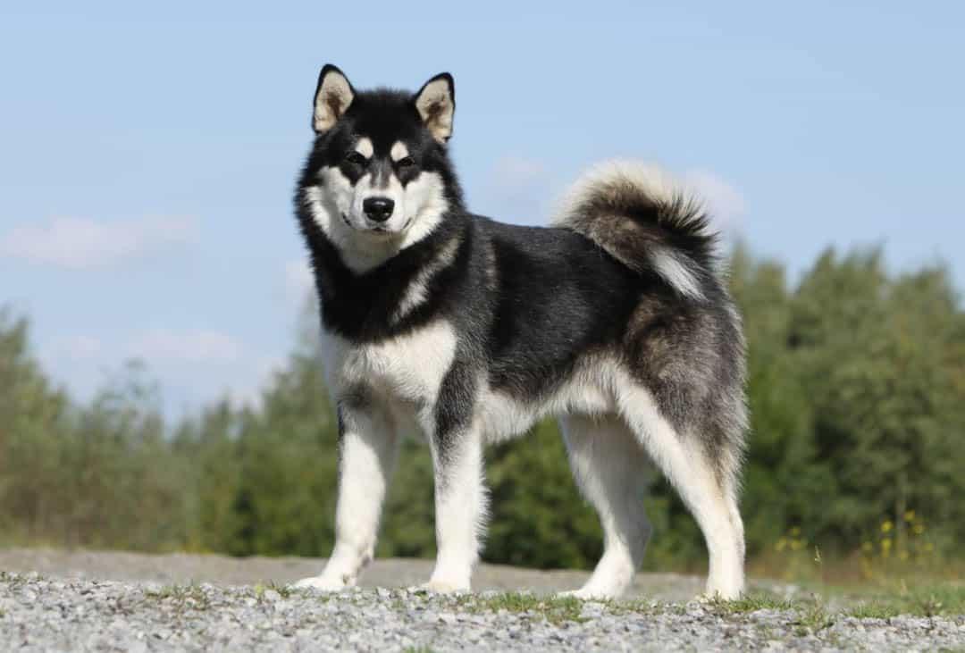 Chó Alaska có thân hình khá to lớn và đồ sộ
