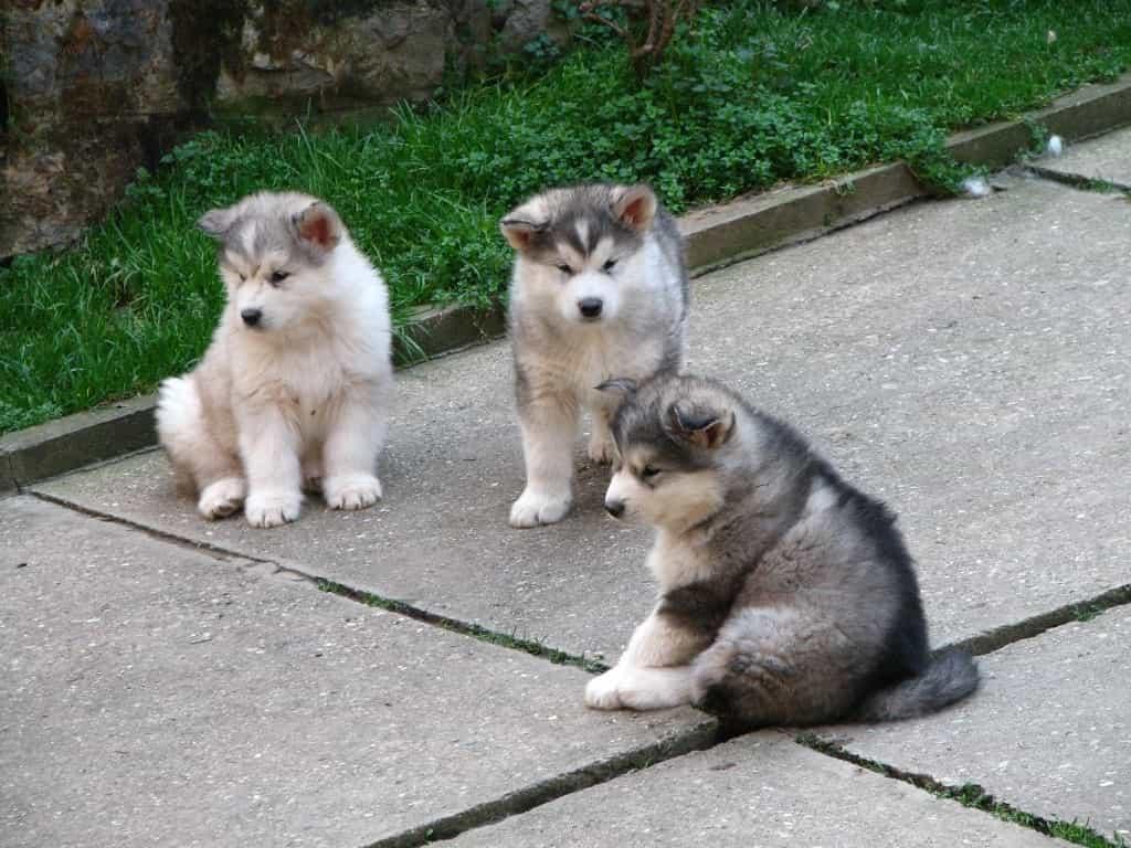 Chó Alaska để mấy con một lứa?