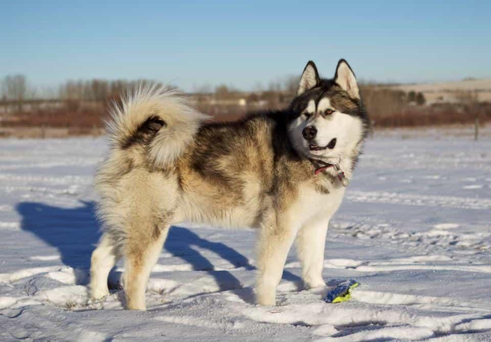 Chó Alaska Giant đã xuất hiện từ khá lâu
