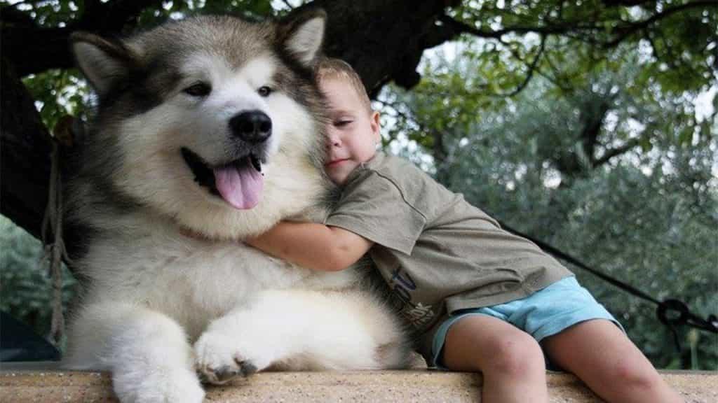 Chó Alaska thân thiện với tất cả mọi người