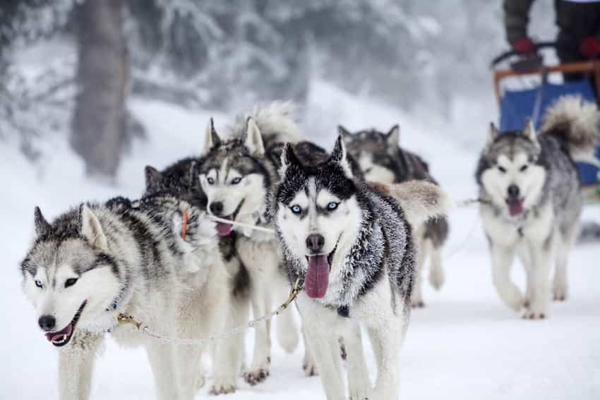 Chó Alaska thường có giá cao hơn Husky một chút