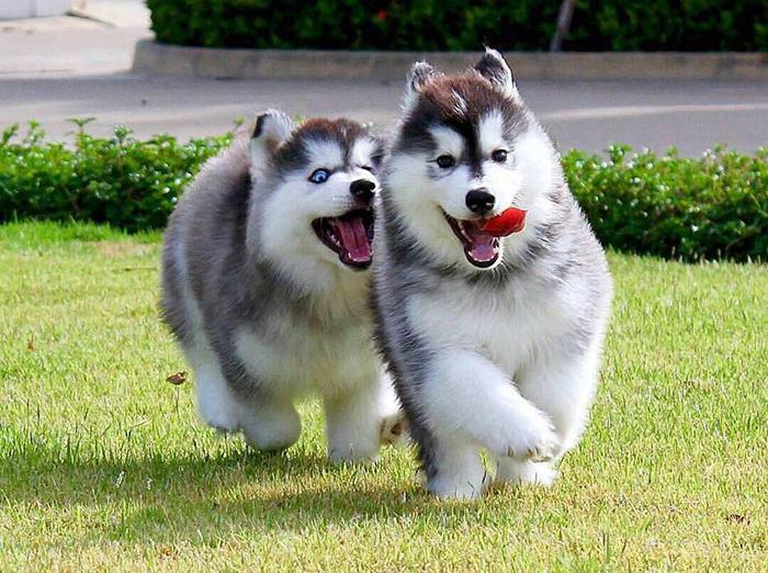 Chó Alaska vồn rất giàu năng lượng nên chúng cực kì ham choi