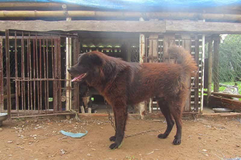 Chó Bắc Hà Lào Cai