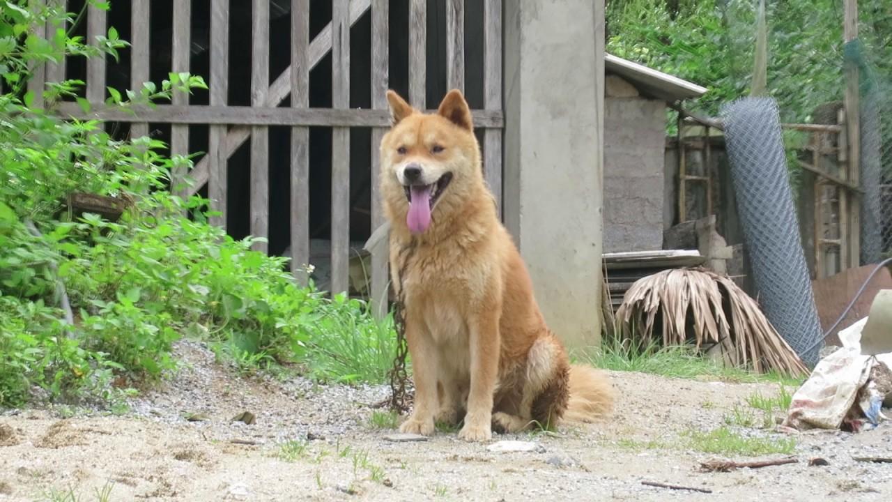 Chó Bắc Hà tại Việt Nam.