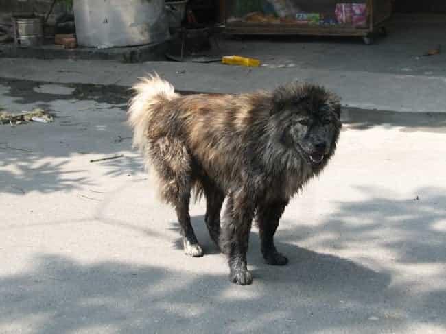 Chó Bắc Hà thuần chủng