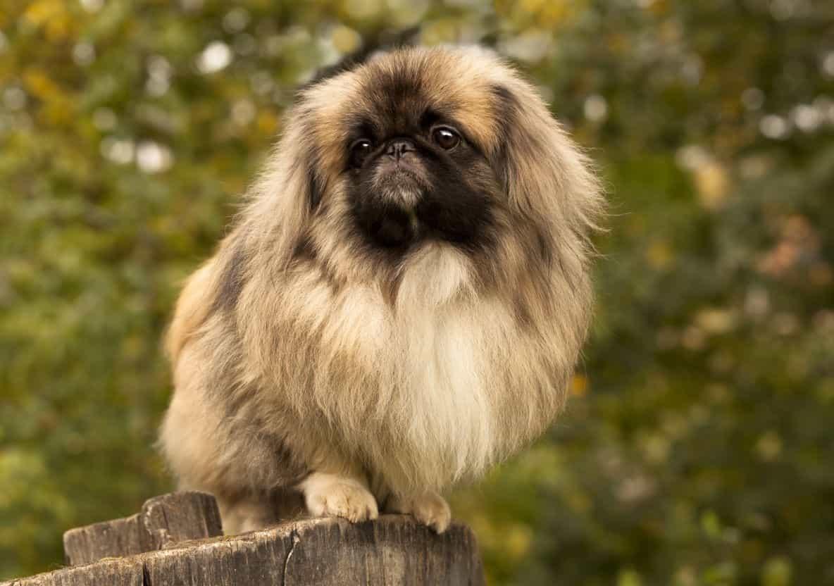 Chó Bắc Kinh khá đanh đá