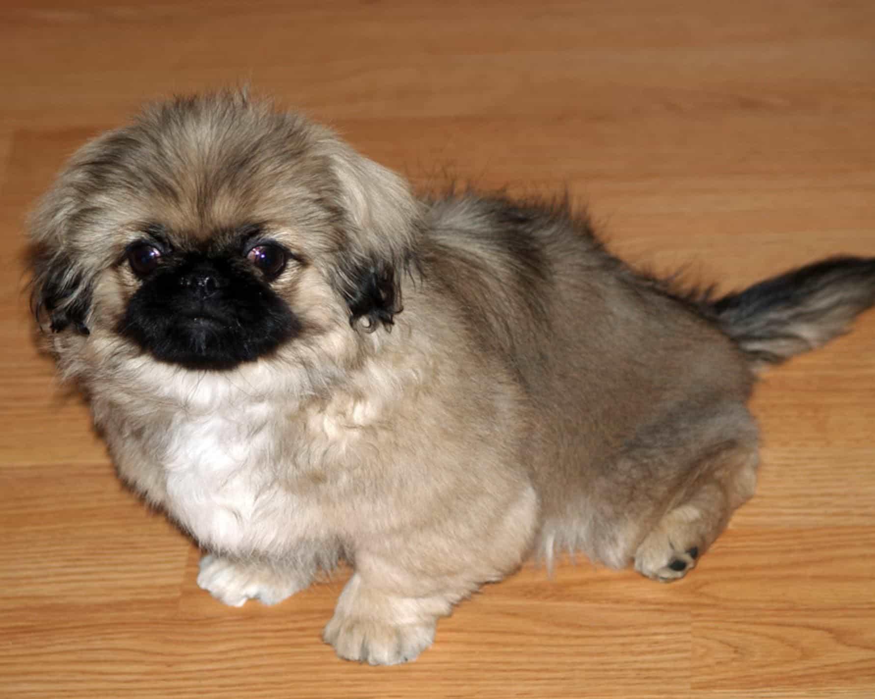 Chó Bắc Kinh lai chó Nhật