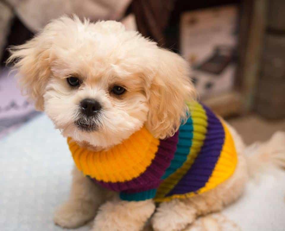 Chó Bắc Kinh lai Poodle