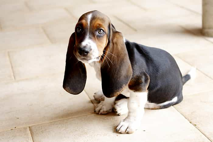 Chó Basset Hound