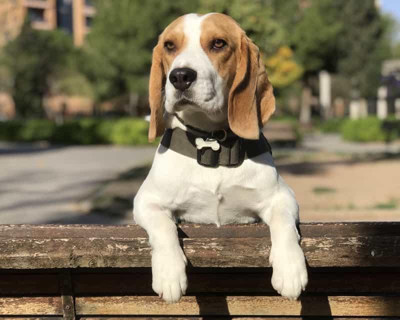 chó beagle