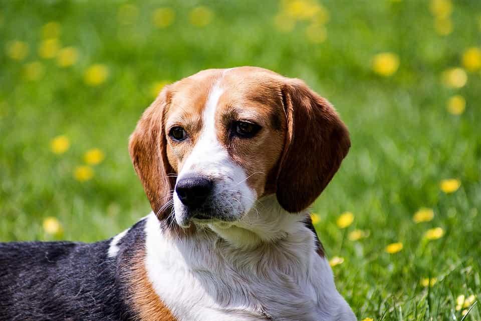 Chó Beagle có nguồn gốc từ đâu?