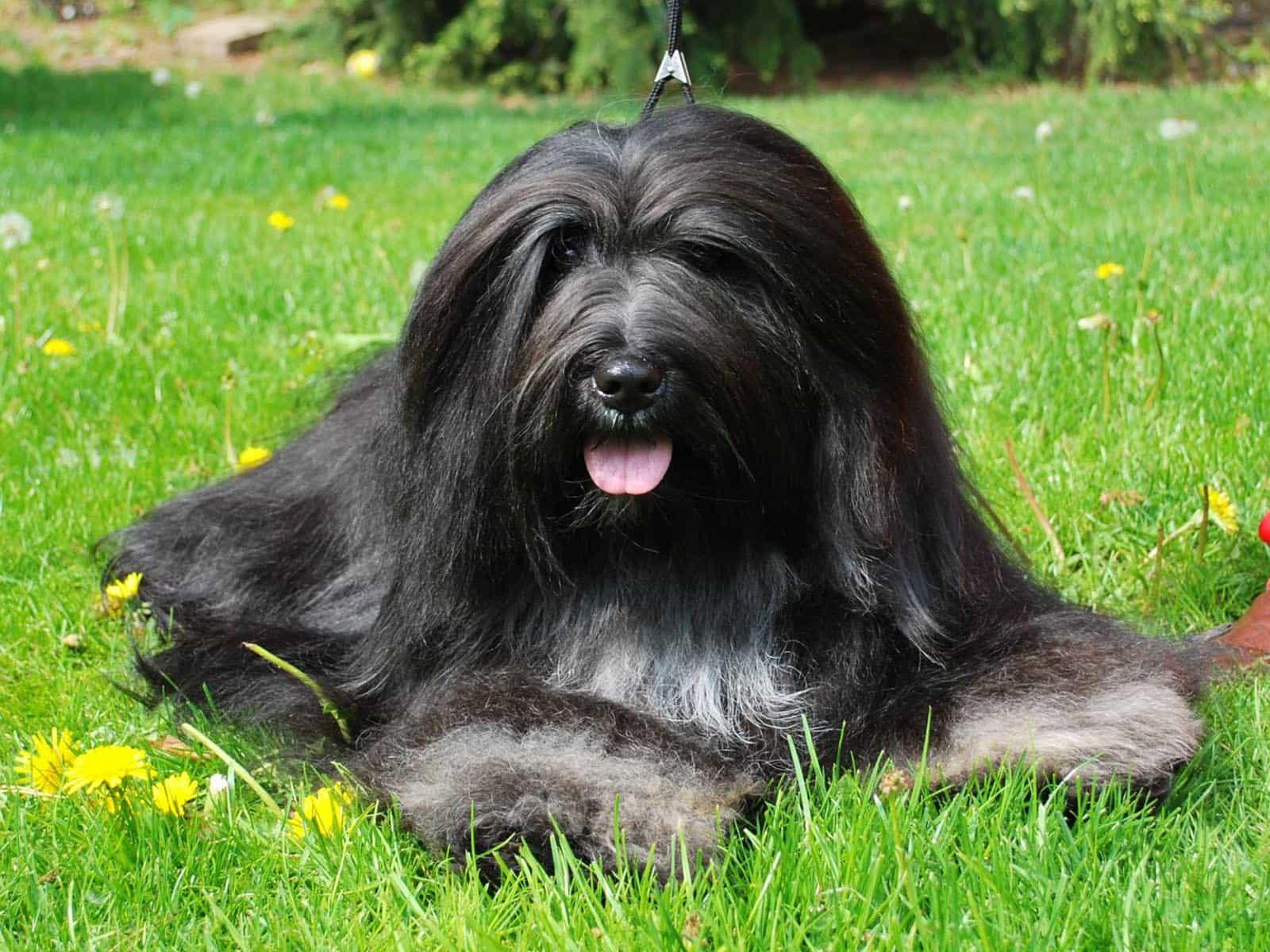 Chó Bearded Collie