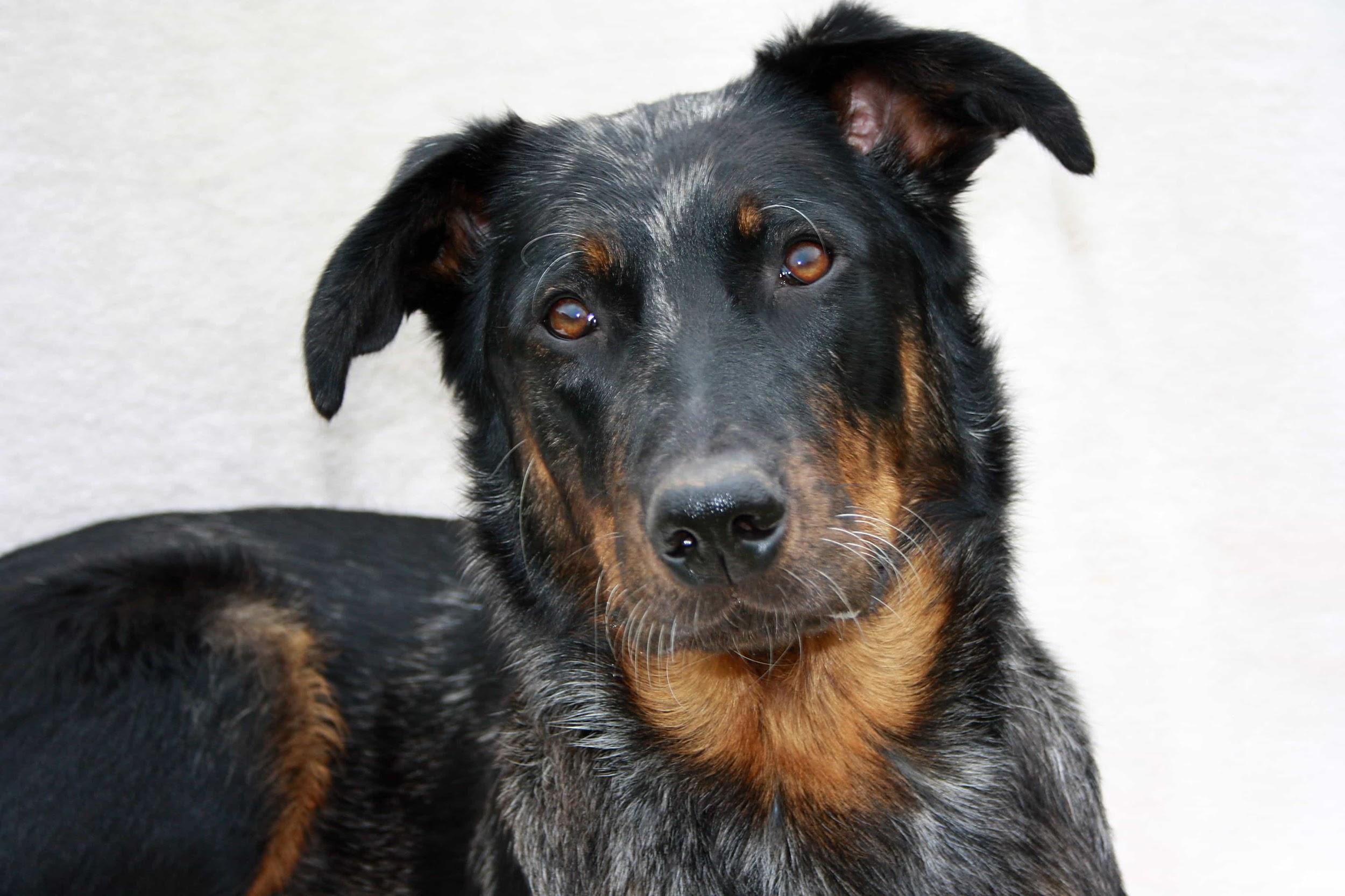 Chó Beauceron đáng yêu