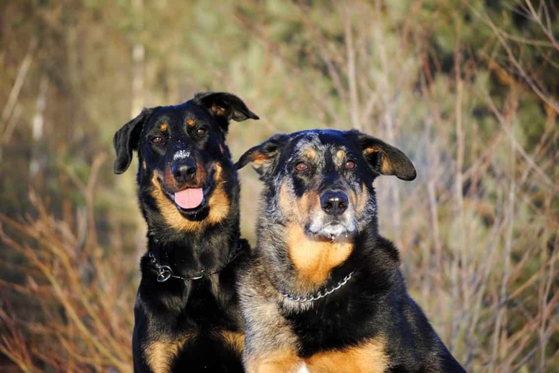Chó Beauceron nâu vàng và lông vện
