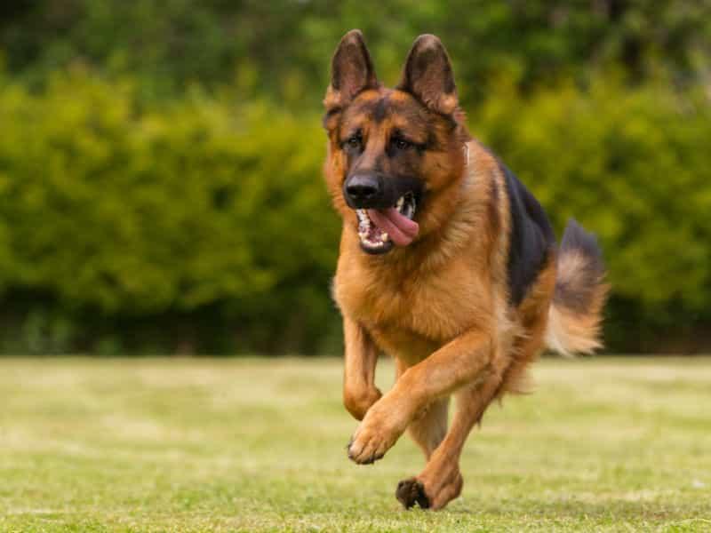Chó Becgie Đức có nhiều loại gi