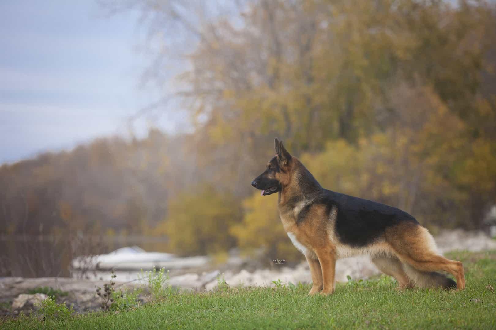 Chó Becgie Đức thuần chủng có nhiều ưu điểm nổi trội
