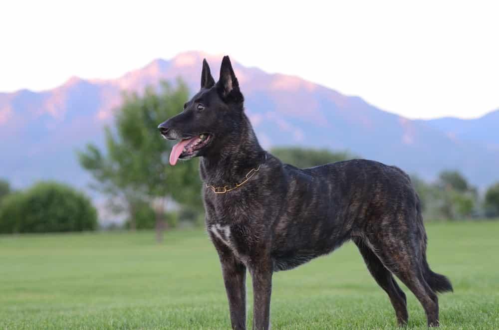 Chó Becgie Hà Lan có thân hình cực kì săn chắc