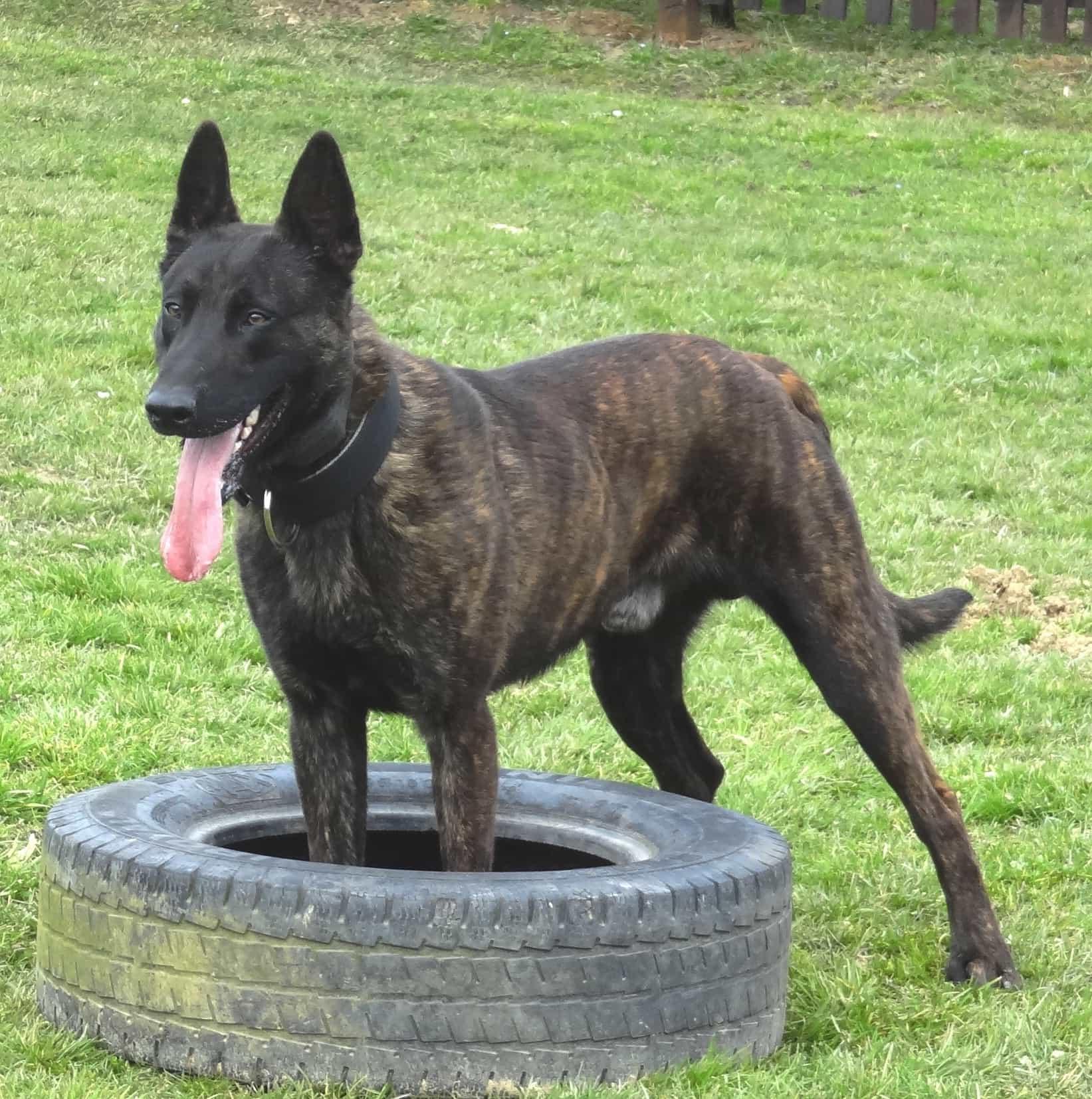 Chó Becgie Hà Lan đã có từ thế kỉ 19
