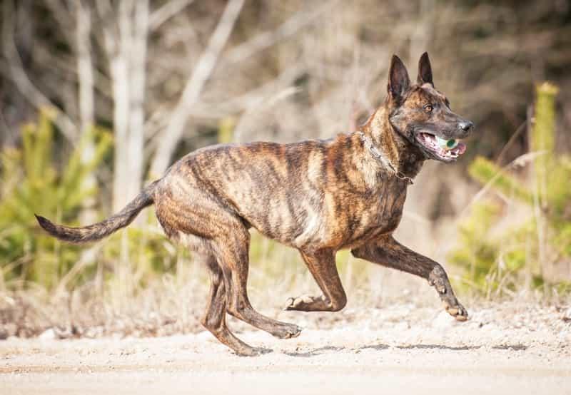 Chó Becgie Hà Lan được huấn luyện từ khi còn nhỏ