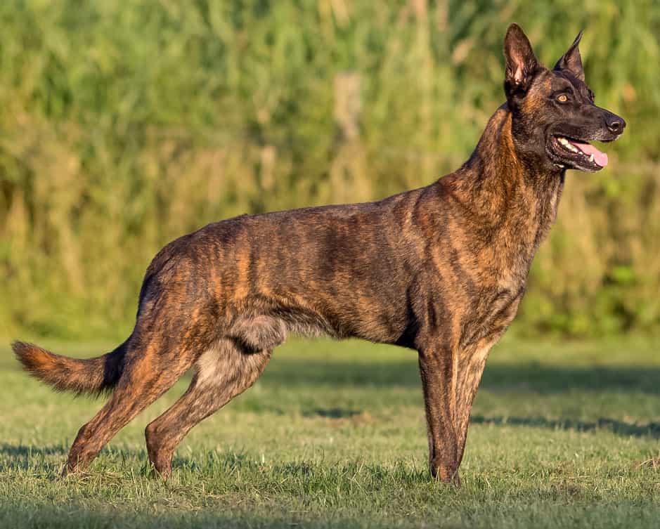 Chó Becgie Hà Lan không được biết đến nhiều