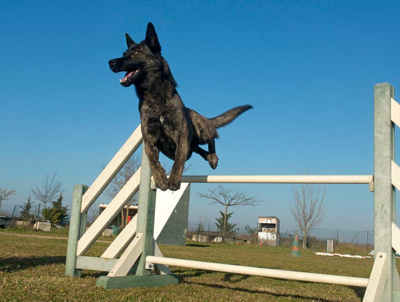 Chó Becgie Hà Lan luôn có ích với người nuôi chúng