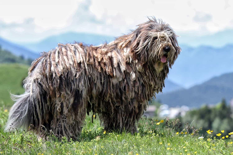 Chó Bergamasco