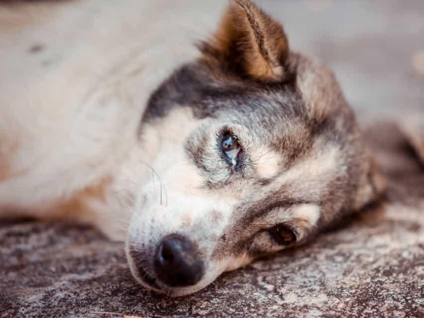 Chó bị hóc xương phải làm gì?