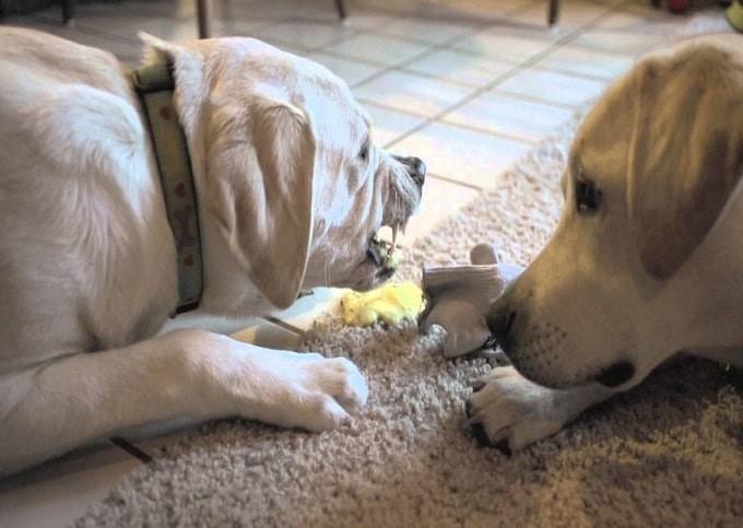Chó bị nôn bỏ ăn có những triệu chứng ra sao?