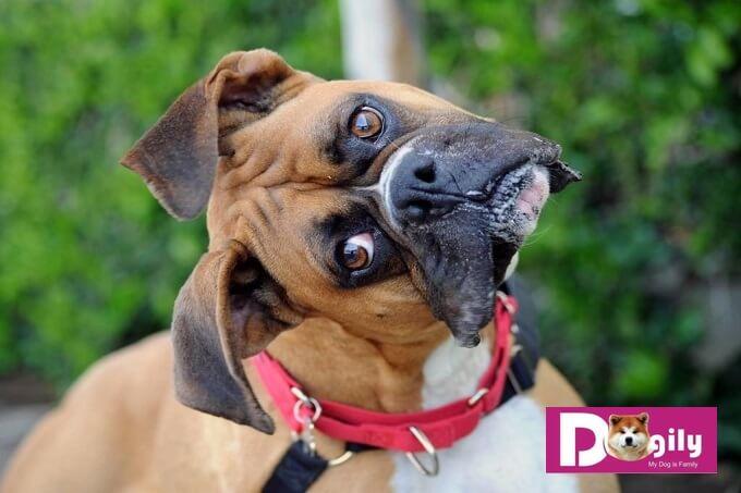 Chó boxer có tính tình vui vẻ, ưa vận đông, chạy nhảy và nghịch ngợm