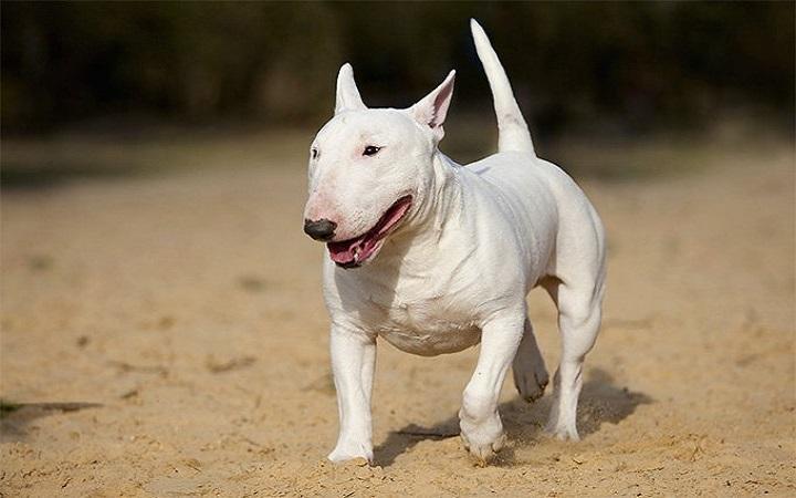 Cho Bull Terrier