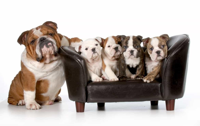 Chó bulldog con giá rẻ