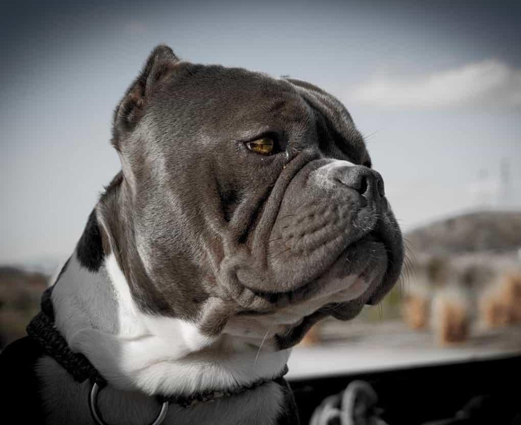 Chó Bully thuần chủng