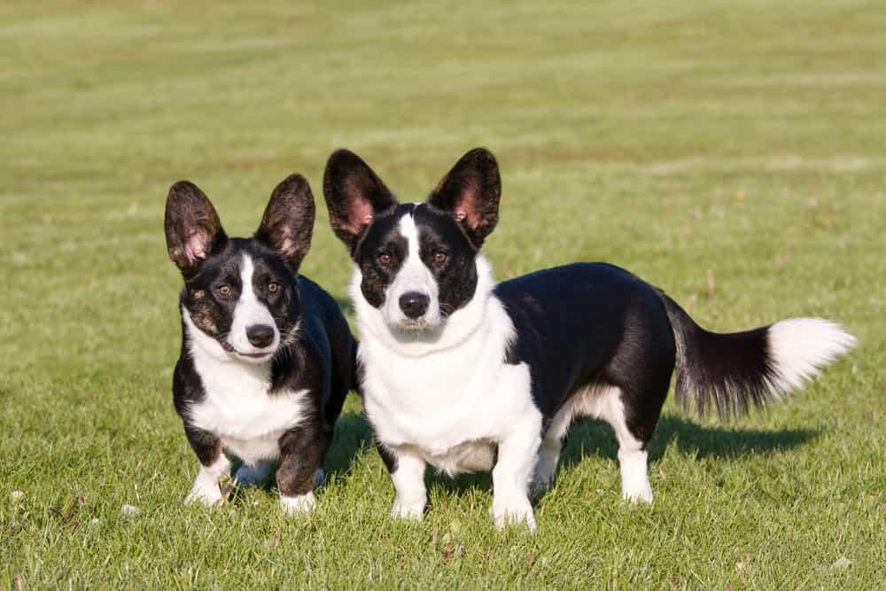 Chó Cardigan có vẻ ngoài nặng nề hơn so với Pembroke