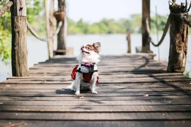 Chó Chihuahua đẹp