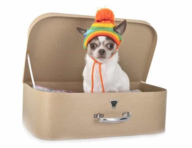 Chó Chihuahua trắng