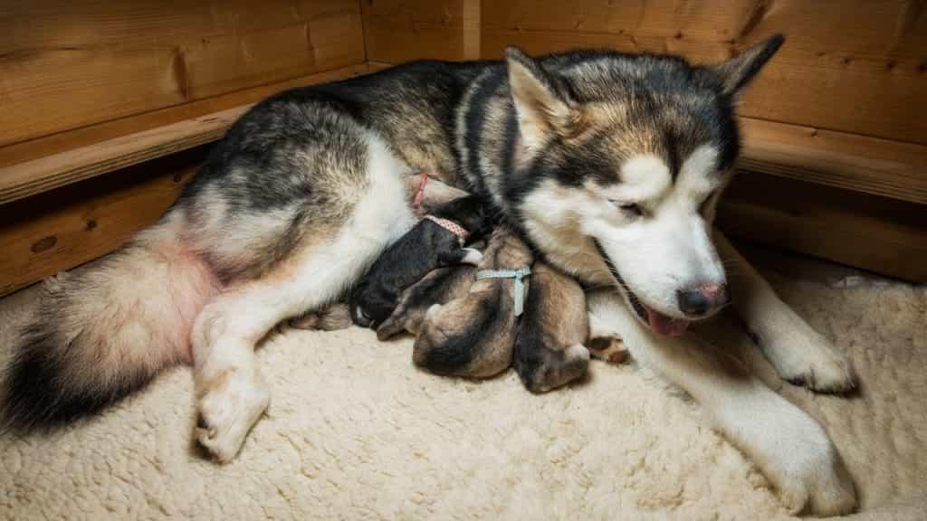 Cho chó Alaska mẹ ở nơi yên tĩnh sau sinh