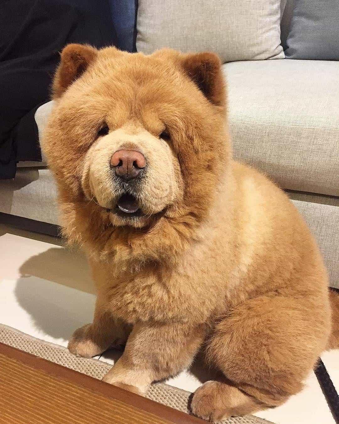 Chó chow chow màu nâu
