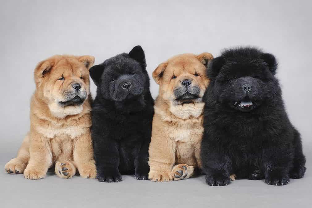 chó Chow Chow puppy