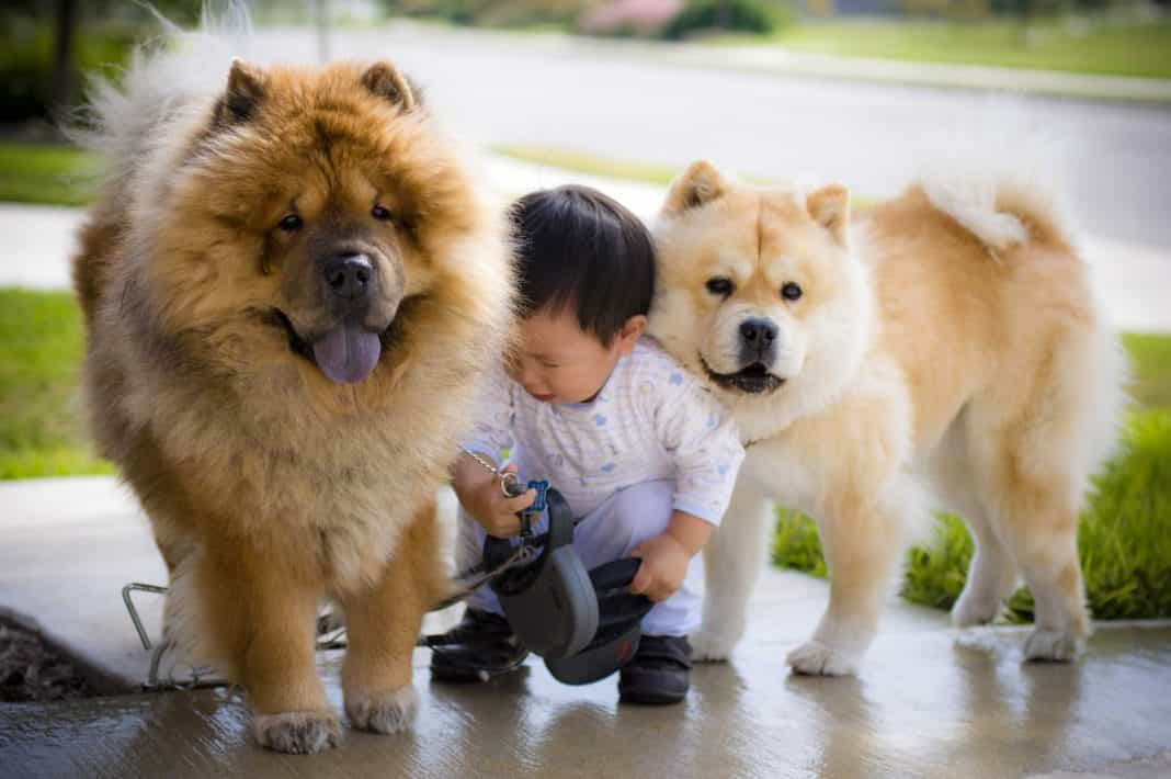 chó chowchow