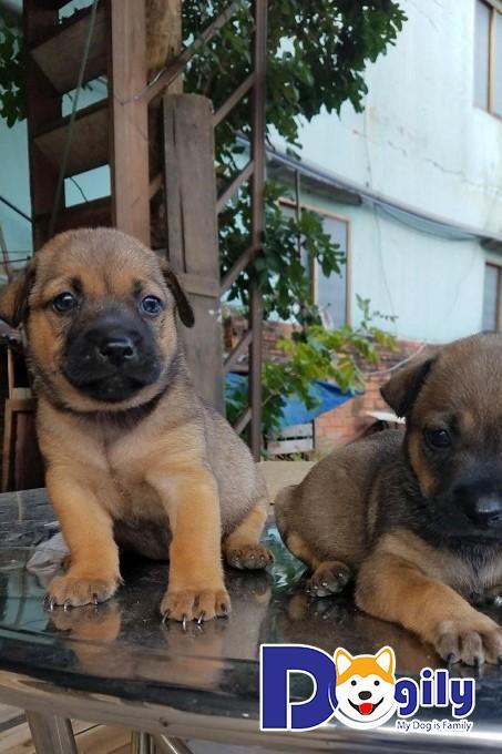 Chó cỏ giai đoạn từ 2 đến 3 tháng tuổi