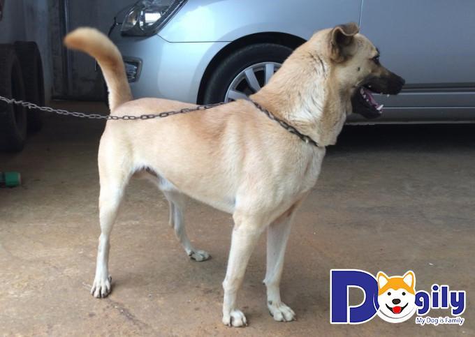 Chó cỏ Việt Nam được đánh giá là giống chó rất thông minh