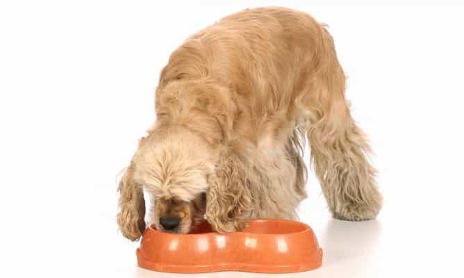 Chó Cocker Spaniel ăn gì