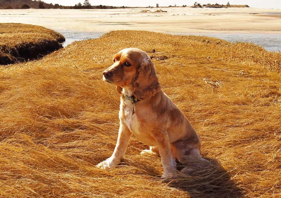 Chó Cocker Spaniel có bộ lông đẹp