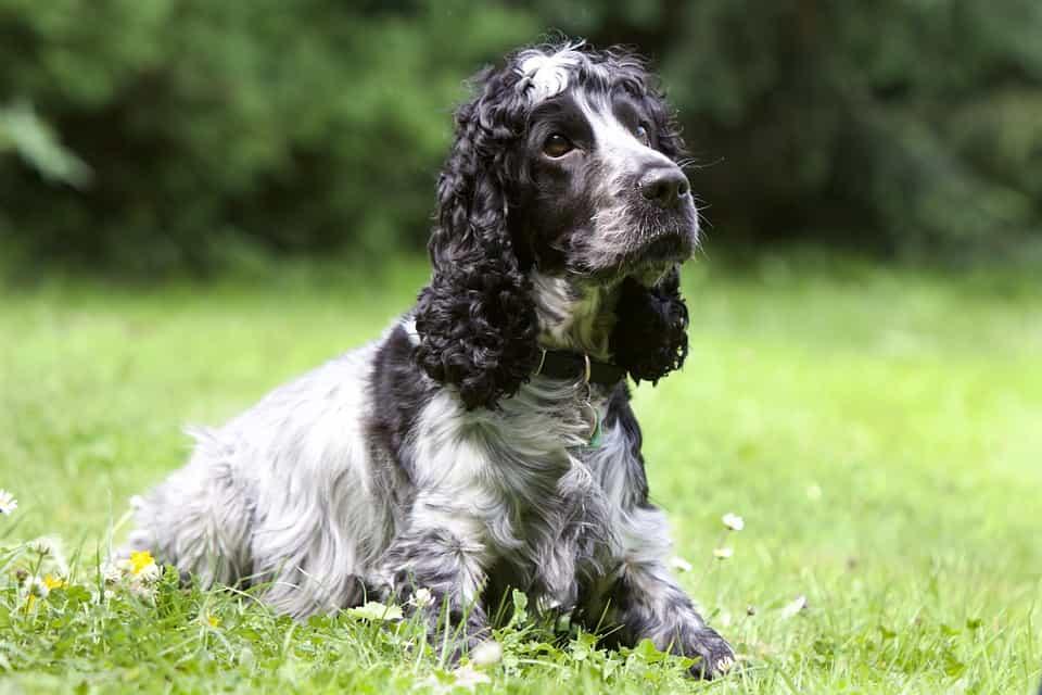Chó Cocker Spaniel đáng yêu
