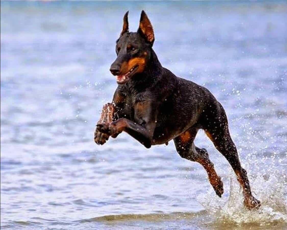 Chó Doberman chạy trên bờ biển