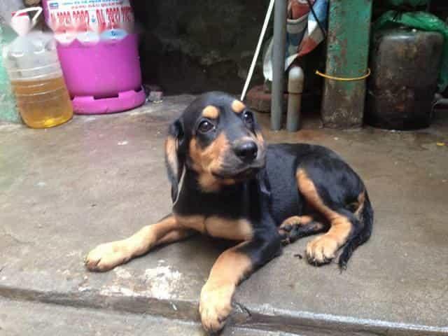 Chó Doberman lai Rottweiler là sự kết hợp hoàn hảo